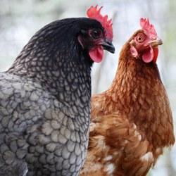 Grippe aviaire : informations aux détenteurs particuliers de volailles et d'oiseaux