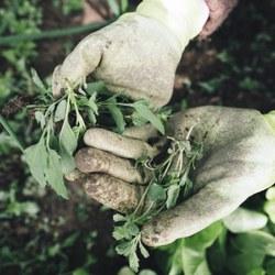 Les pesticides mis de côté : de nouveaux traitements contre les mauvaises herbes